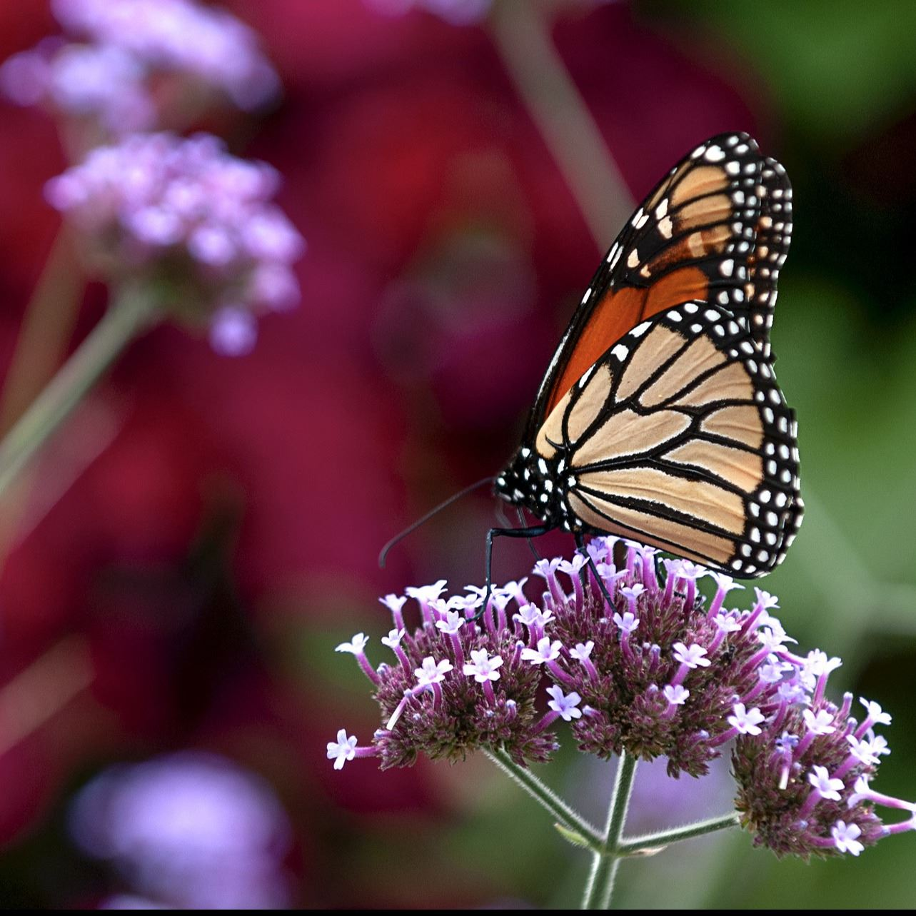 monarch Image by stanbalik from Pixabay