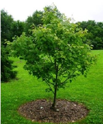 Photo of Properly Mulched Tree (Courtesy of International Society of Arboriculture)